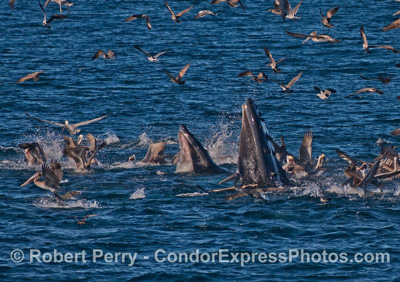 The sudden impact of two humpback whales (<em>Megaptera novaeangliae</em>) sends the brown pelicans and other seabirds flying.