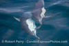Image 2 of 4 in a sequence - two long beaked common dolphins (Delphinus capensis) cavort beneath the glassy ocean surface.