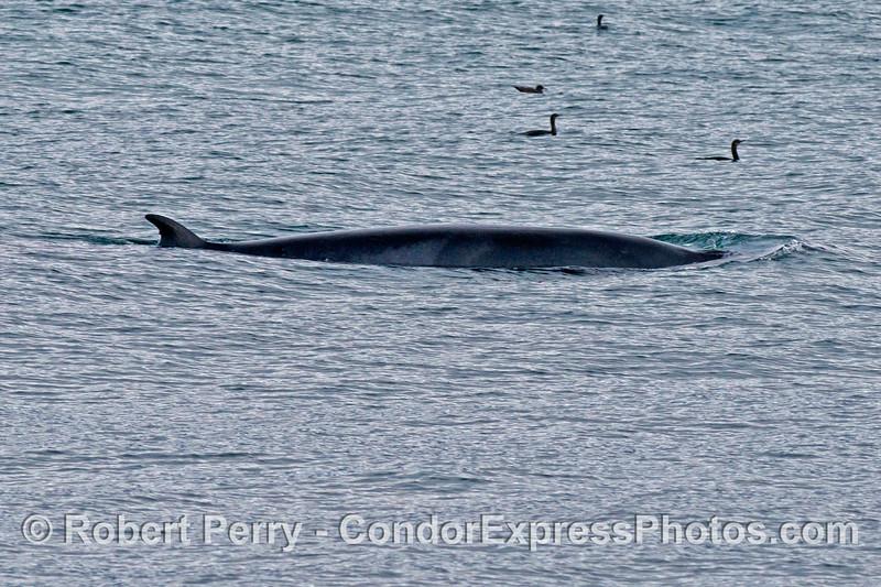 A Minke whale (<em>Balaenoptera acutorostrata</em>).