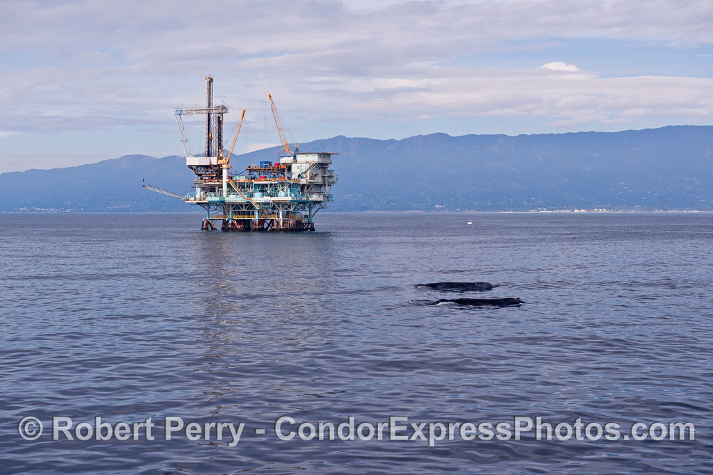Image 3 of 4 in a sequence - two humpback whales (<em>Megaptera novaeangliae</em>) cruise around offshore oil platforms C, B, A and Hillhouse in the Santa Barbara Channel.
