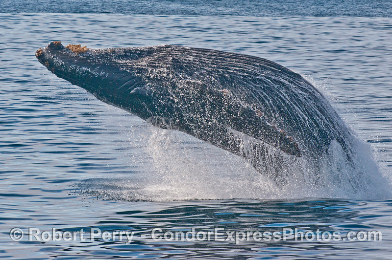 "1 of 6 images in a sequence showing a powerful breach by the humpback whale (<em>Megaptera novaeangliae</em>) we call ""Prop Scar.""  In this frame the beast has left the water and is fully airborne.  Notice the water streaming off the ventral grooves and large pectoral flipper."