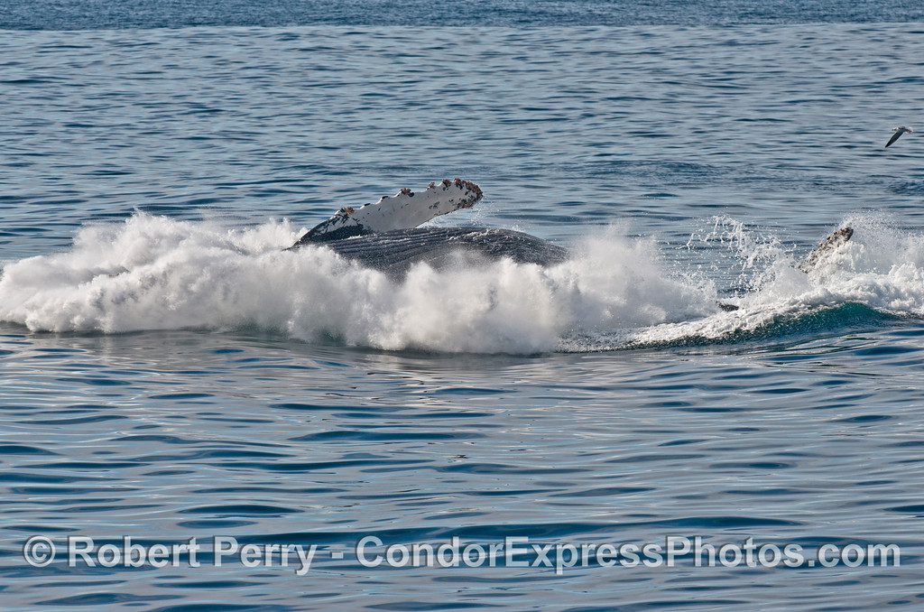 "5 of 6 images in a sequence showing a powerful breach by the humpback whale (<em>Megaptera novaeangliae</em>) we call ""Prop Scar.""  Only part of the belly and a pectoral flipper is still in sight as the foamy splash begins to rise."
