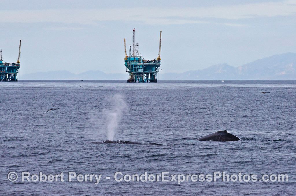 Image 4 of 4 in a sequence - two humpback whales (<em>Megaptera novaeangliae</em>) cruise around offshore oil platforms C, B, A and Hillhouse in the Santa Barbara Channel.