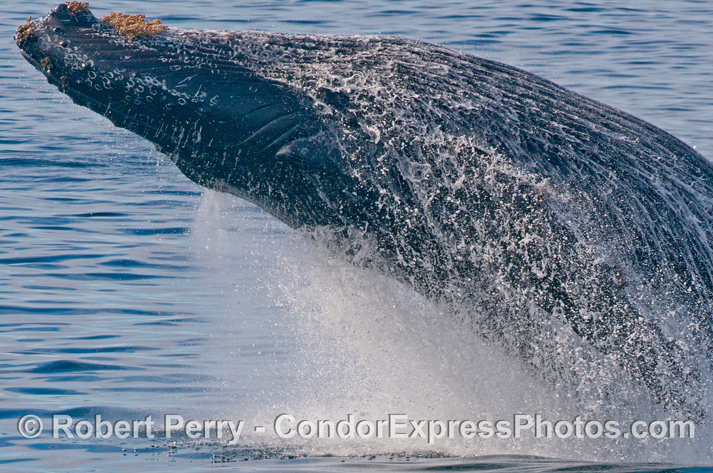 "2 of 6 images in a sequence -  this frame is showing a very close up look at a powerful breach by the humpback whale (<em>Megaptera novaeangliae</em>) we call ""Prop Scar."""
