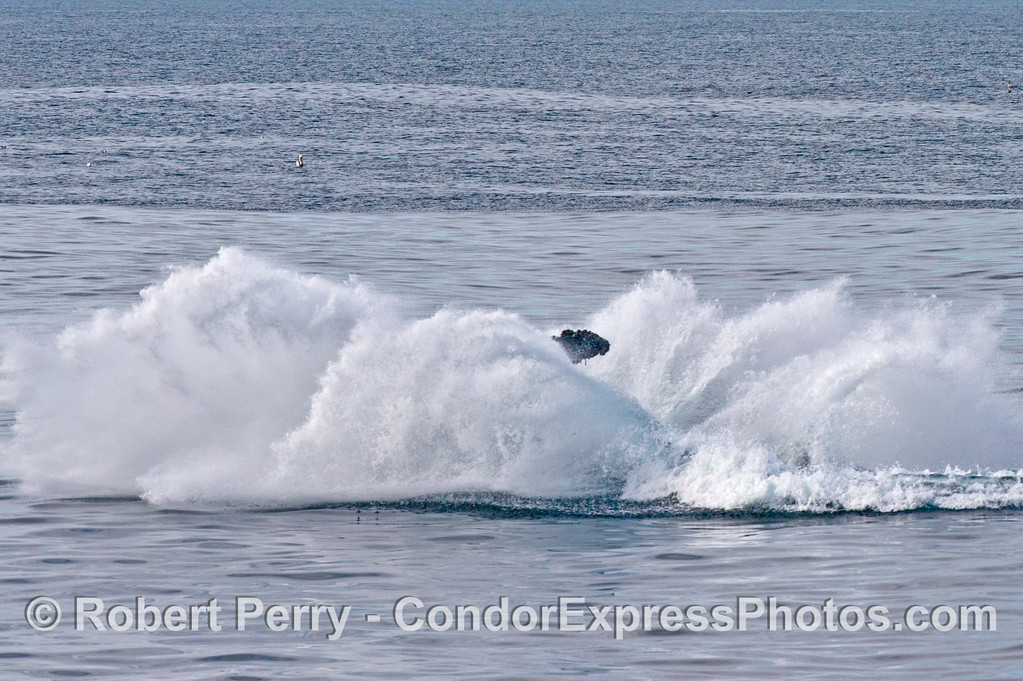 "6 of 6 images in a sequence showing a powerful breach by the humpback whale (<em>Megaptera novaeangliae</em>) we call ""Prop Scar.""  Just the distal terminus of the left pectoral fin is seen amidst the spray."