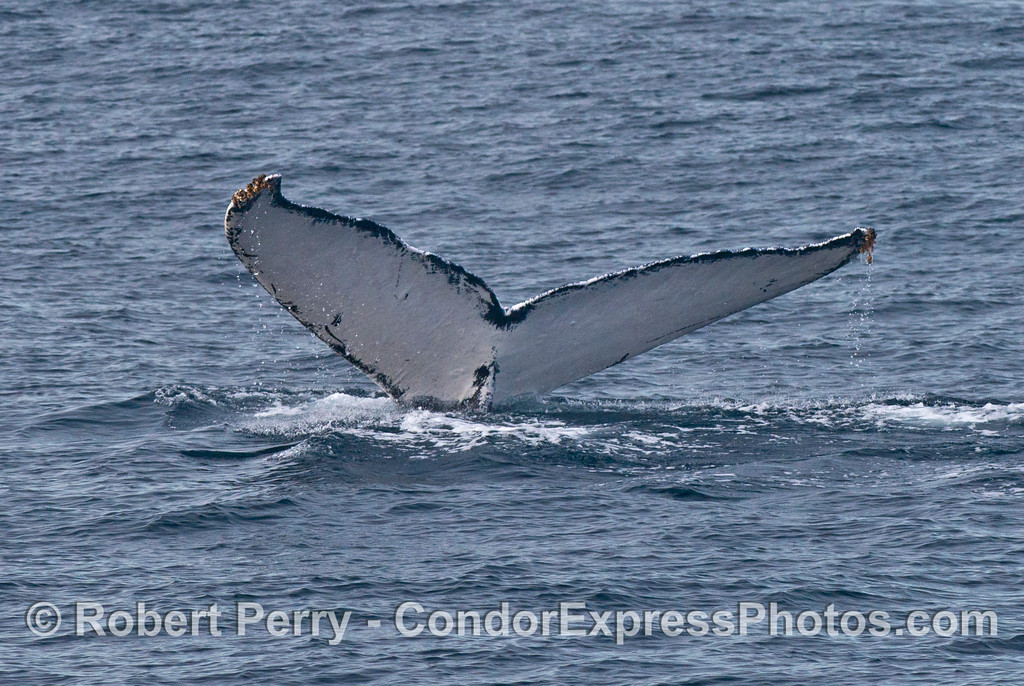 An almost pure white tail fluke of a humpback whale (<em>Megaptera novaeangliae</em>).