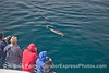 Here a long beaked common dolphin (Delphinus capensis) comes in to take a close look at the humans.