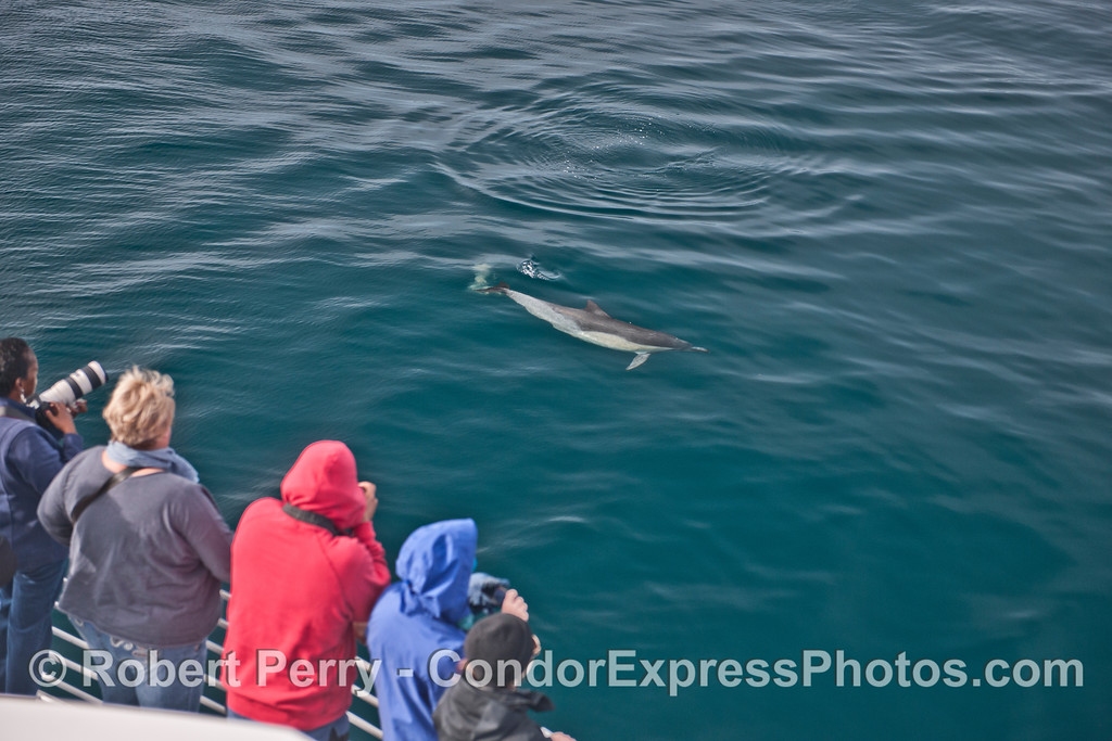 Here a long beaked common dolphin (<em>Delphinus capensis</em>) comes in to take a close look at the humans.