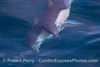 Image 1 of 4 in a sequence - two long beaked common dolphins (Delphinus capensis) cavort beneath the glassy ocean surface.
