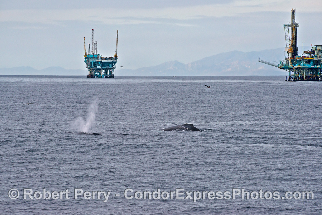 Image 1 of 4 in a sequence - two humpback whales (<em>Megaptera novaeangliae</em>) cruise around offshore oil platforms C, B, A and Hillhouse in the Santa Barbara Channel.
