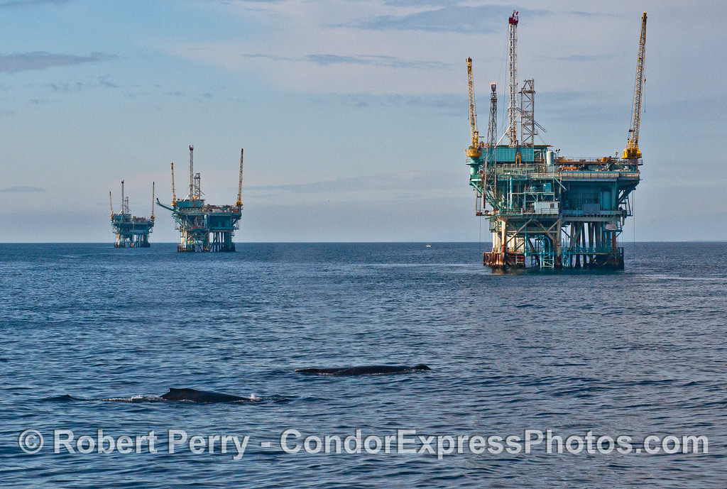 Image 2 of 4 in a sequence - two humpback whales (<em>Megaptera novaeangliae</em>) cruise around offshore oil platforms C, B, A and Hillhouse in the Santa Barbara Channel.