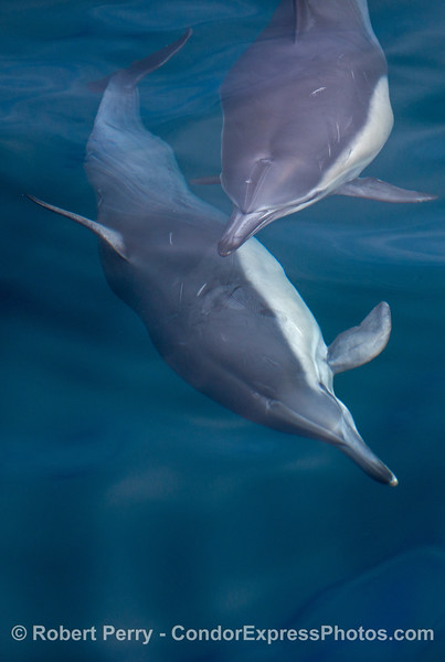 Image 3 of 4 in a sequence - two long beaked common dolphins (<em>Delphinus capensis</em>) cavort beneath the glassy ocean surface.