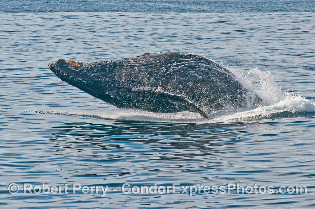 "3 of 6 images in a sequence showing a powerful breach by the humpback whale (<em>Megaptera novaeangliae</em>) we call ""Prop Scar.""  Here the beast is about to impact the water."