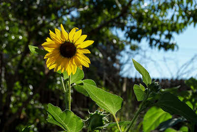 Sunflowers in Sunnyside, Denver, Colorado