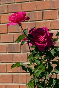 Roses in Sunnyside, Denver, Colorado