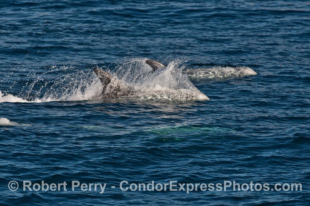 Racing Risso's dolphins (<em>Grampus griseus</em>).