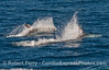 Two Risso's dolphins (Grampus griseus) racing.