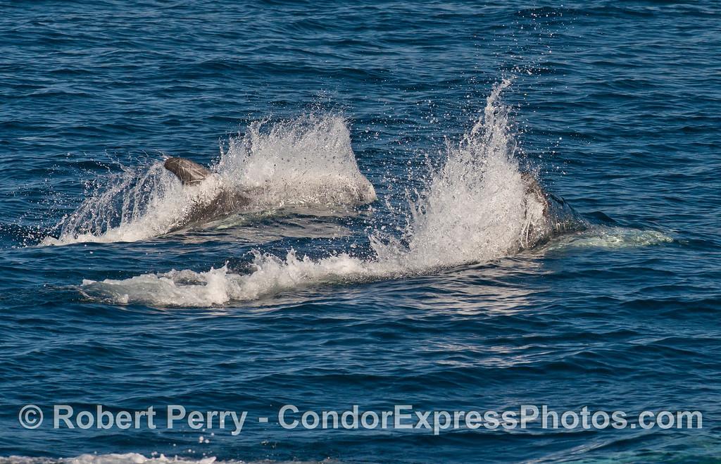 Two Risso's dolphins (<em>Grampus griseus</em>) racing.