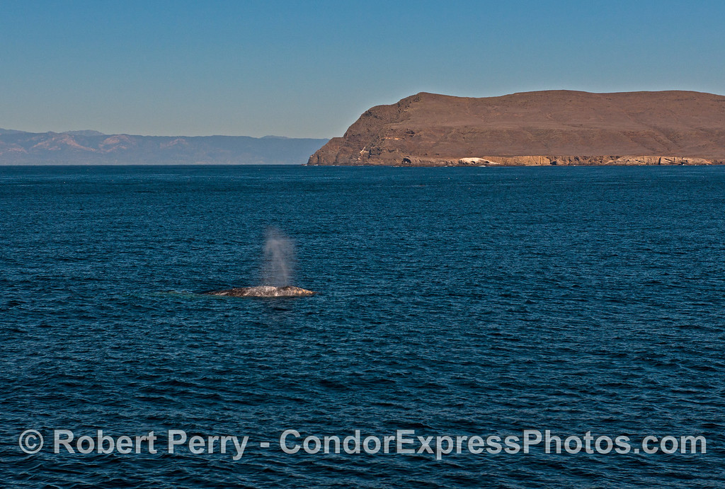 A gray whale (<em>Eschrichtius robustus</em>) with Cavern Point, Santa Cruz Island in back.