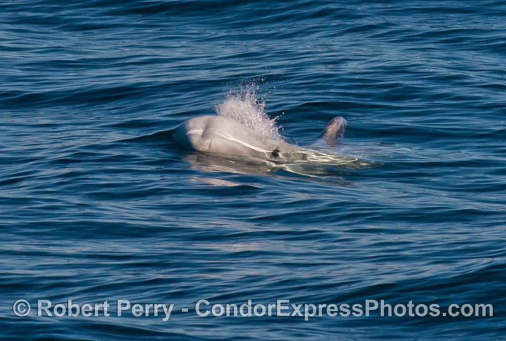 A Risso's dolphin (<em>Grampus griseus</em>) heads directly for the camera.