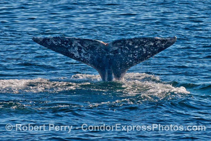 Tail flukes - gray whale (<em>Eschrichtius robustus</em>).