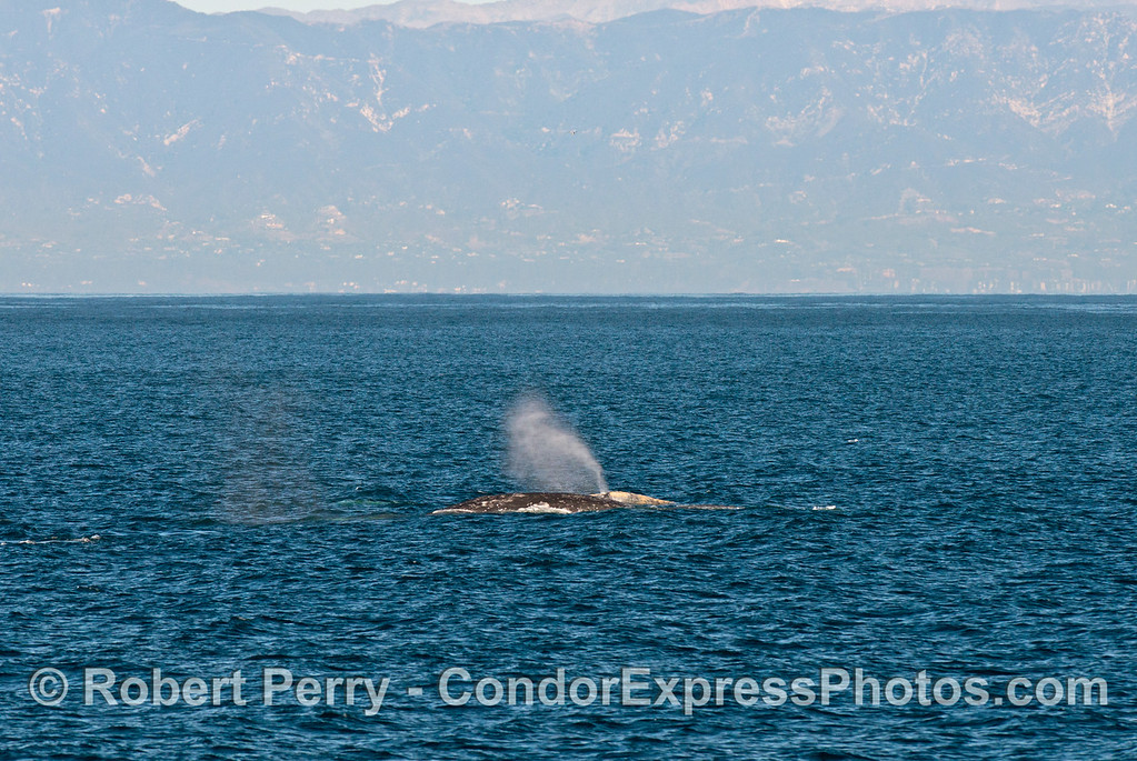 Two southbound gray whales (<em>Eschrichtius robustus</em>) are captured, one spouting, in the Santa Barbara Channel with the mainland Santa Ynez Mountains in the background.
