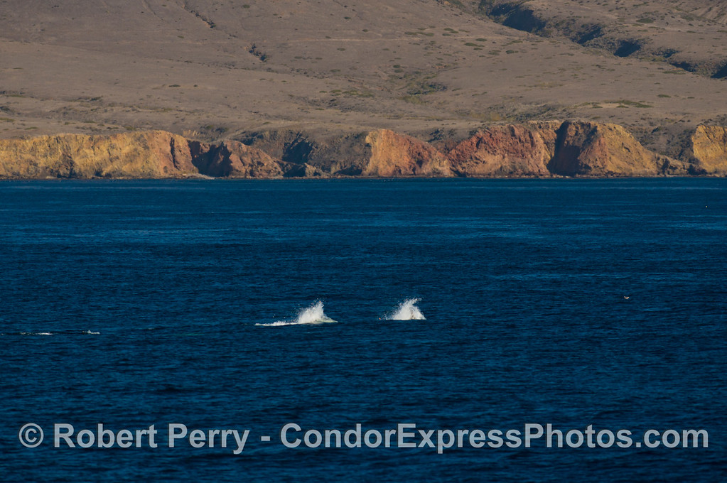 Two racing Risso's dolphins (<em>Grampus griseus</em>) near the western slopes of Santa Cruz Island.