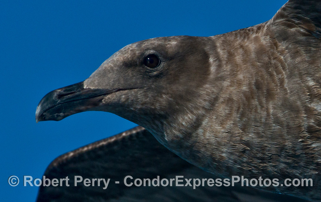A close look at the head of a juvenile gull (<em>Larus</em> sp.).