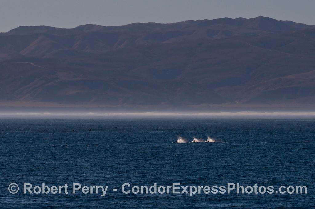 Three racing Risso's dolphins (<em>Grampus griseus</em>).