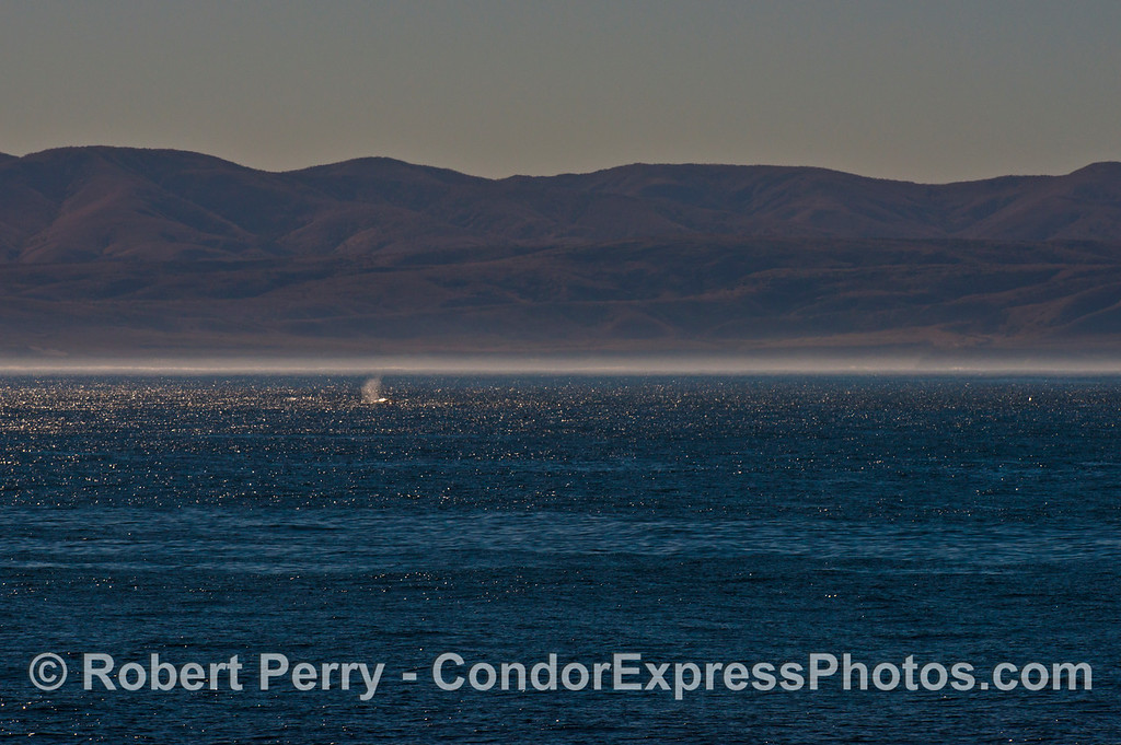 A gray whale (<em>Eschrichtius robustus</em>) is seen spouting in the sunlight as we traverse the Santa Cruz Channel with the beautiful hills of Santa Rosa Island in the background.