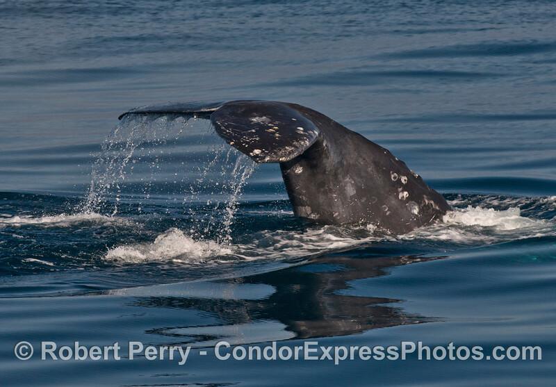Gray whale (<em>Eschrichtius robustus</em>) tail flukes.