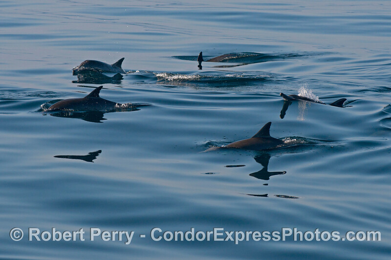 Common dolphins (<em>Delphinus capensis</em>) on an oily glass ocean.