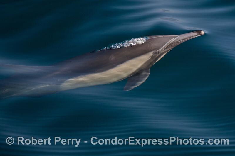 A lone common dolphin (<em>Delphinus capensis</em>) bubbles beneath the blue surface.