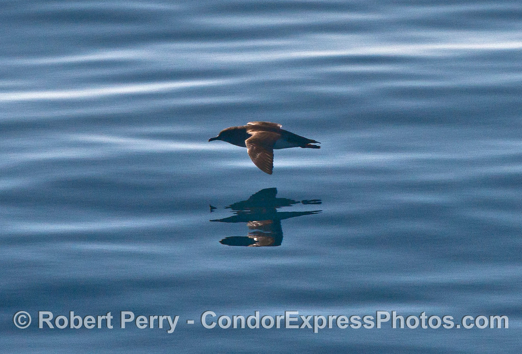 Pink footed shearwater (<em>Puffinus creatopus</em>).
