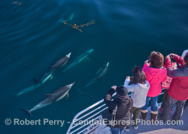 Cameras click as a small pod of common dolphins (<em>Delphinus capensis</em>) pays a friendly visit.