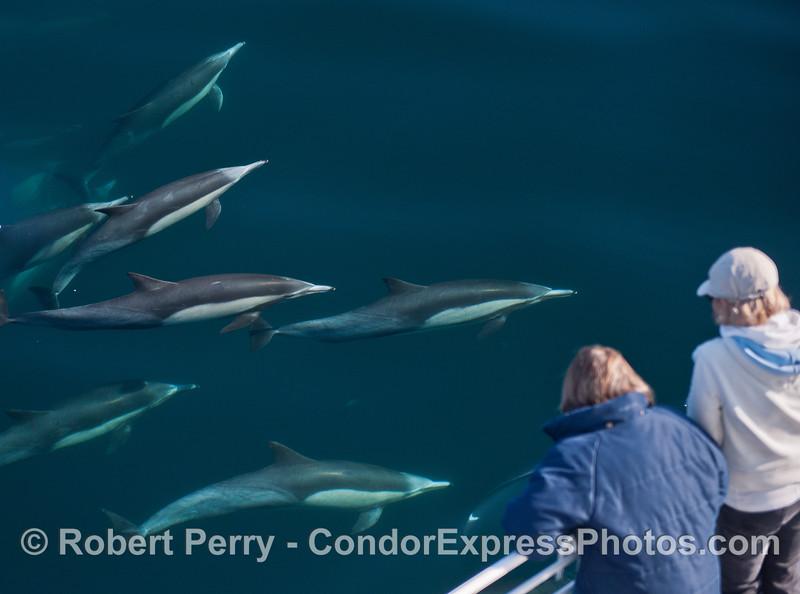 Long beaked common dolphins (<em>Delphinus capensis</em>) visit the whale watchers.