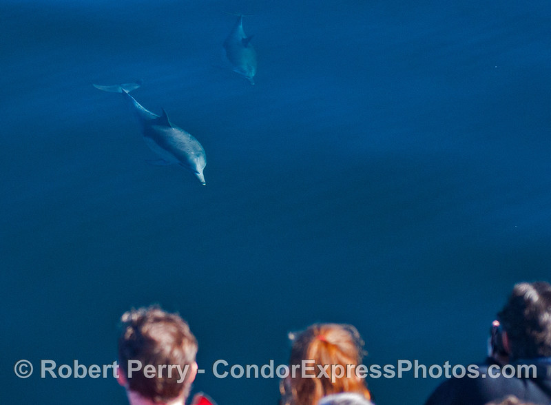 Delphinus capensis & passengers 2013 12-26 SB Channel-a-019