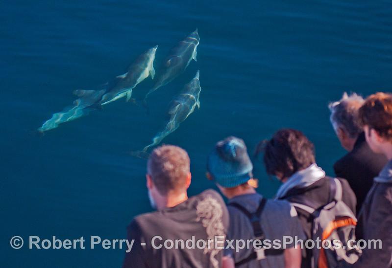 Delphinus capensis & passengers 2013 12-26 SB Channel-a-005
