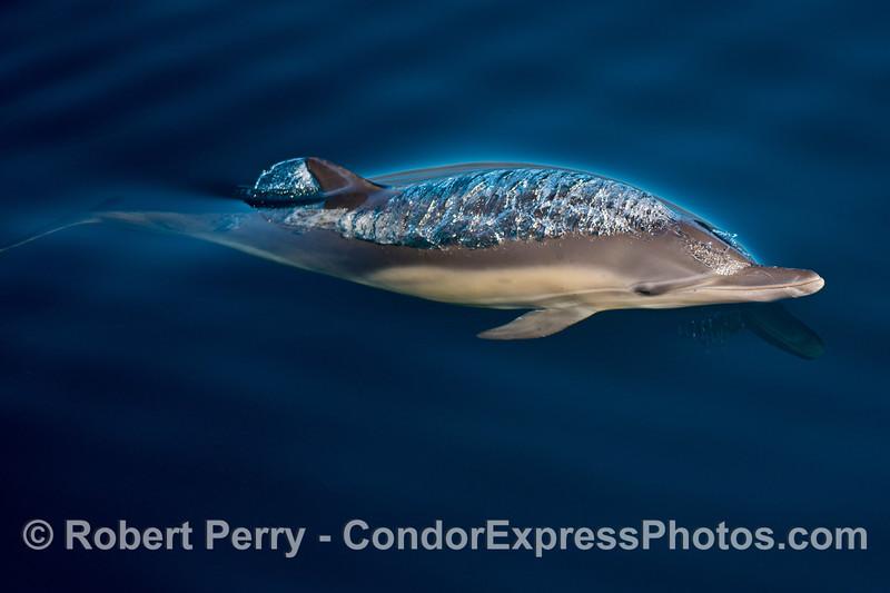 Delphinus capensis calf 2013 12-26 SB Channel-039