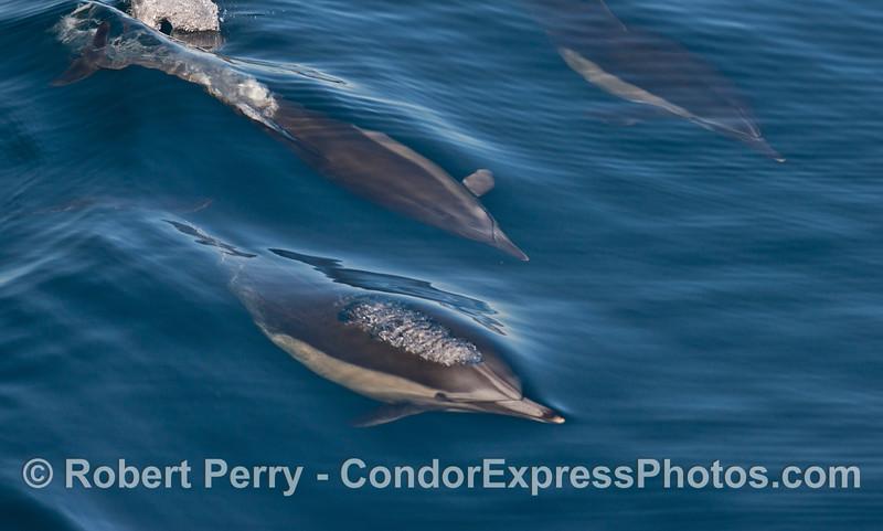Delphinus capensis 2013 12-26 SB Channel-030