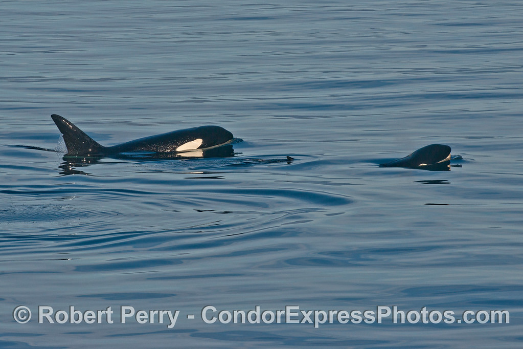 Orcinus orca 2013 12-27 SB Channel-529