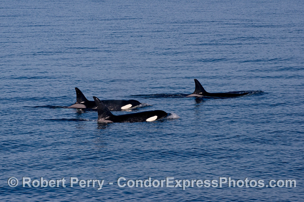 Orcinus orca 2013 12-27 SB Channel-605