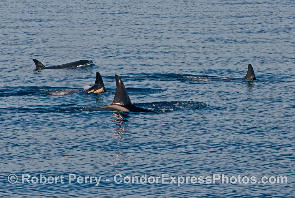 Orcinus orca FIVE 2013 12-27 SB Channel-608
