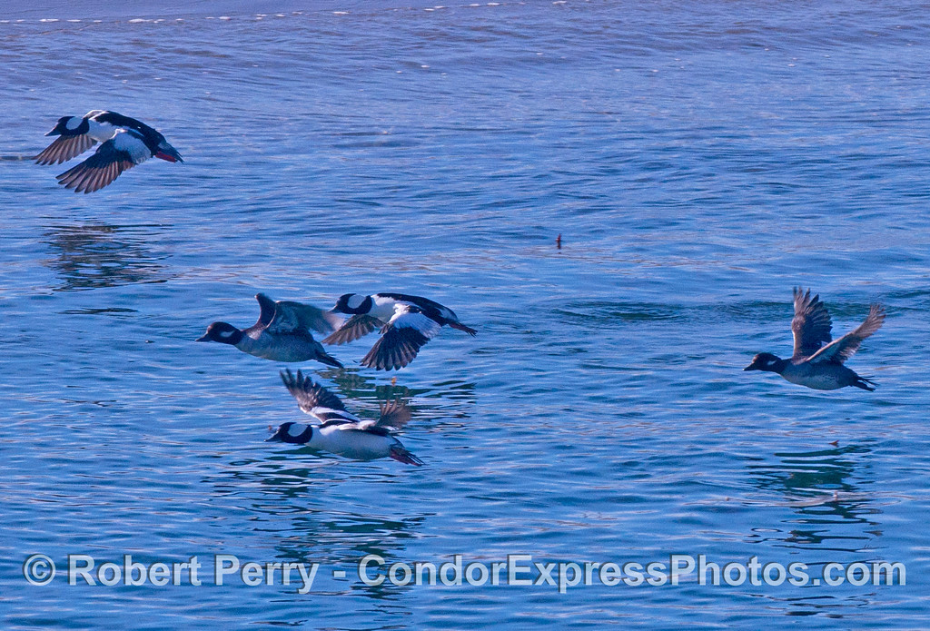 Bucephala albeola Bufflehead flock in flight 2013 12-27 SB Harbor-004