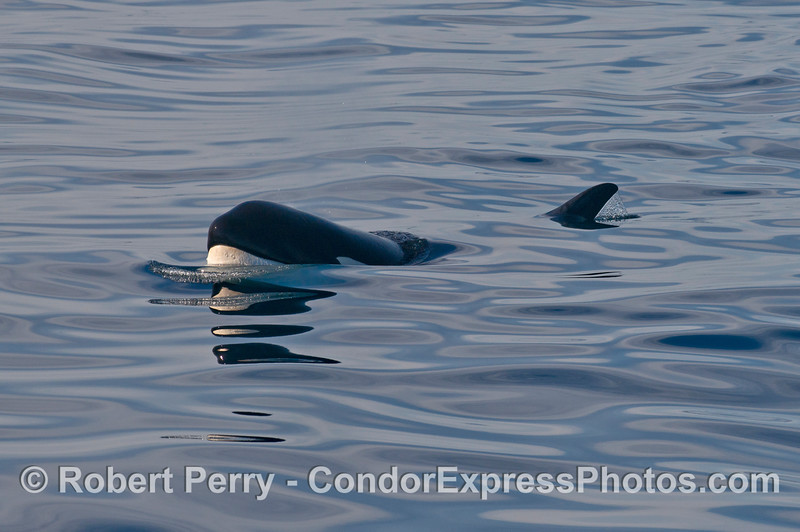 Orcinus orca 2013 12-27 SB Channel-541