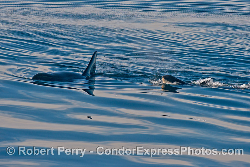 Orcinus orca cow calf 2013 12-27 SB Channel-279