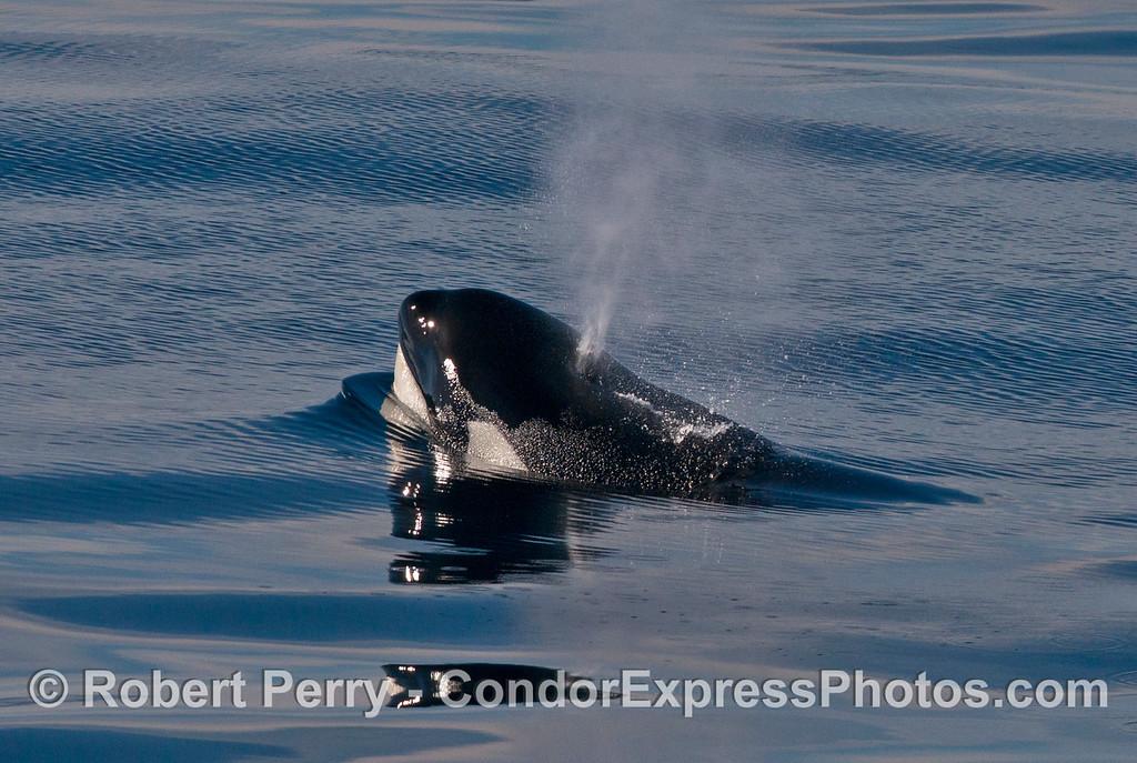 Orcinus orca spout 2013 12-27 SB Channel-247