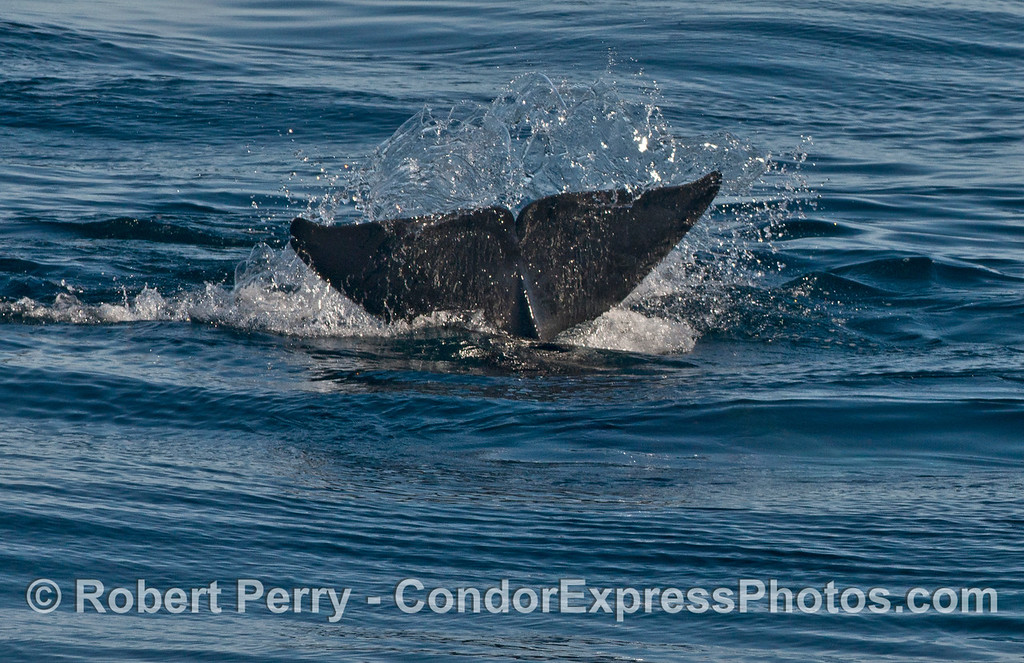 Orcinus orca tail flukes 2013 12-27 SB Channel-153