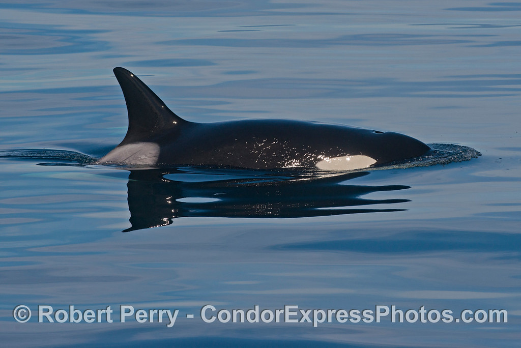 Orcinus orca 2013 12-27 SB Channel-535