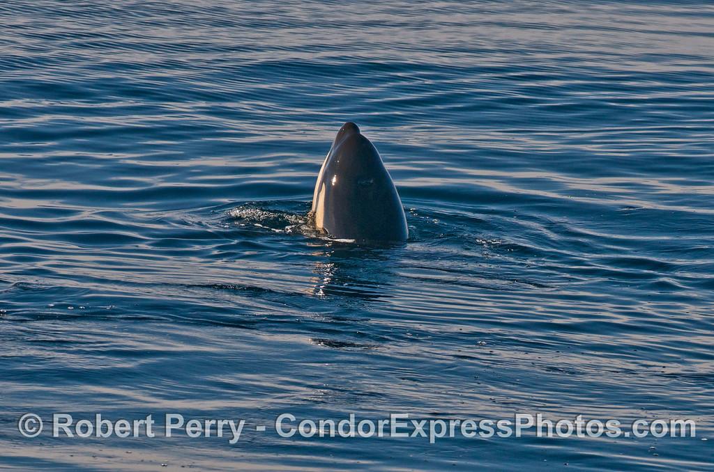 Orcinus orca JUV spyhop 2013 12-27 SB Channel-292